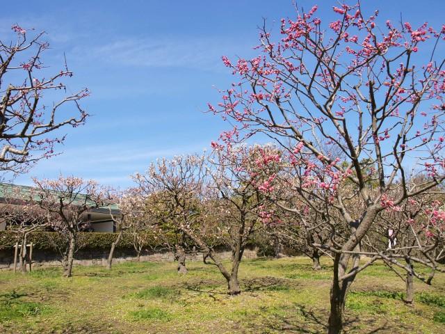 梅林(日本庭園)