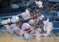 梅・桜ガイド