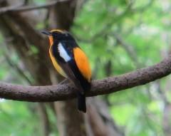 野鳥観察会-鳥のさえずり-